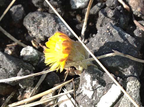 Tussilago 20120311